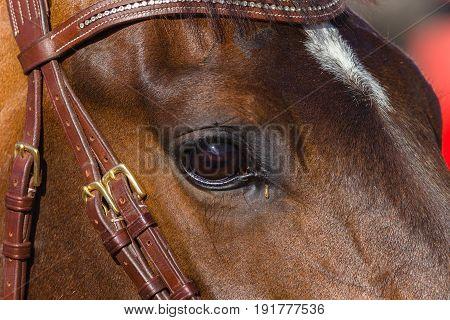 Horse Head Eye closeup animal detail photo.