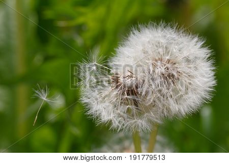 crumbling dandelion on a green background in summer park