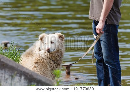 Mongrel Dog On A Leash With The Owner