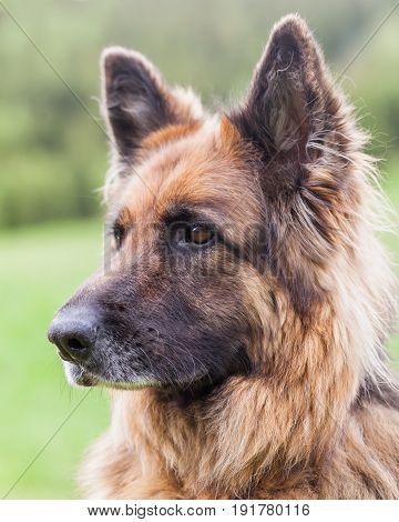 Portrait Of A German Sheperd Female Dog In Retezat Mountains Romania