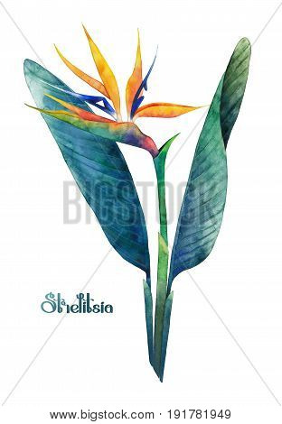 Watercolor strelitzia bouquet. Hand painted exotic flower with leaves isolated on white background