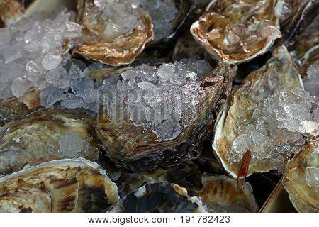 Fresh Big Raw Oysters On Ice