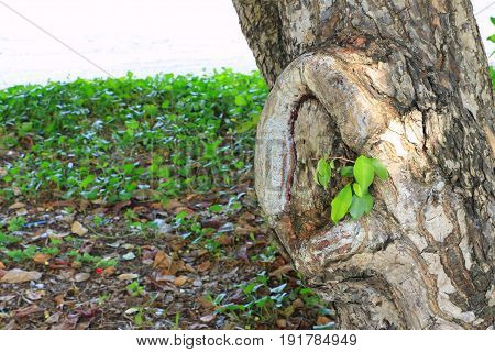 Tree knot of the big tree .