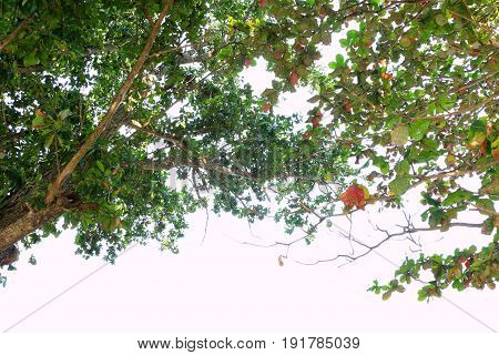 Tree top on the white background  .