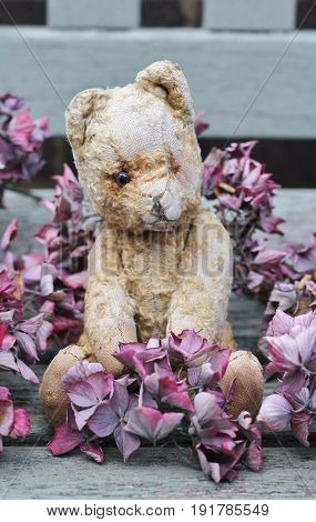 A cute old and scruffy vintage teddy bear sat on a wooden weathered bench , surronded by dried pink hydrangea
