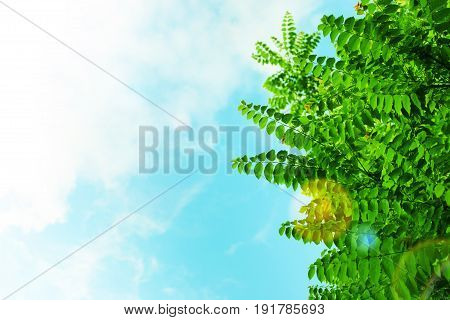 Krone trees against the blue sky, abstract background.
