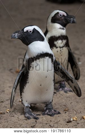African penguin (Spheniscus demersus), also known as the jackass penguin or black-footed penguin.