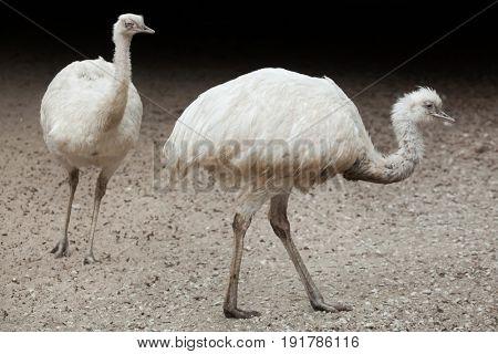 Greater rhea (Rhea americana), also known as the common rhea. White leucistic form.