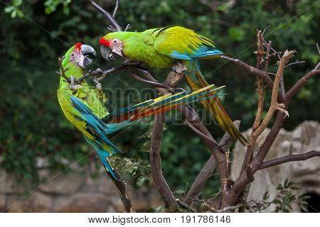 Great green macaw (Ara ambiguus), also known as the great military macaw or Buffon's macaw.