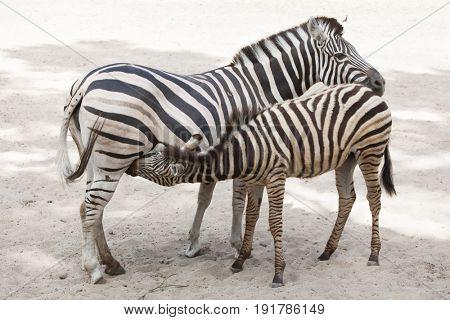 Chapman's zebra (Equus quagga chapmani) feeding its foal.