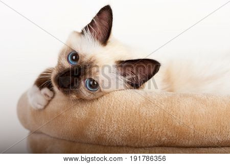 A seal point Birman cat 4 month old kitten male with blue eyes lying on cat scratching barrel