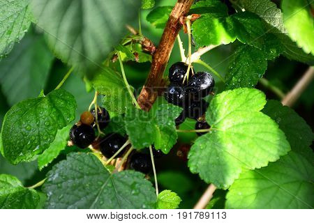 Black large currants on the hive under the rays of the san