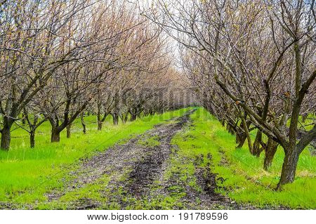 Apple trees stand in rows start to bloom
