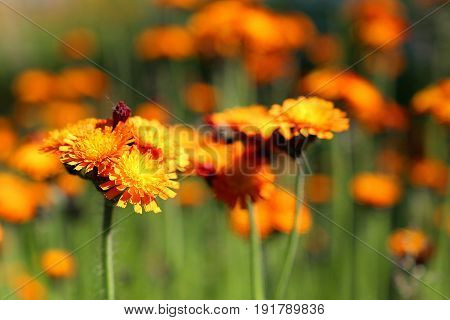 Orange summer flower surrounded by green nature