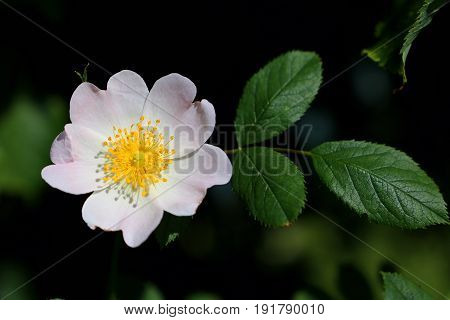 Beautiful blooming rosehip flower surrounded by nature