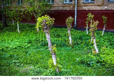 Young shoots and leaves on trunks of cut off maples. Cut off trees.