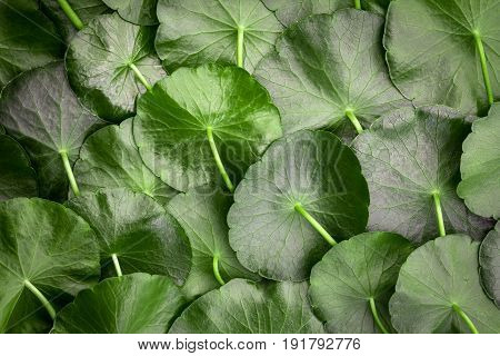 Close up circle green leaf decoration as abstract green background from Centella asiatica fresh herb plant background