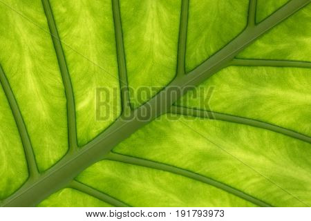 Tropical elephant ear leaf with sunlight shining through. Closeup showing the veins and structure of the underside. Abstract background in green tones.