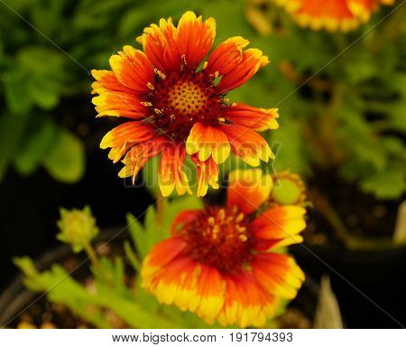 Blooming blanket flowers Blooming gallardia or blanket flowers with blurry green background
