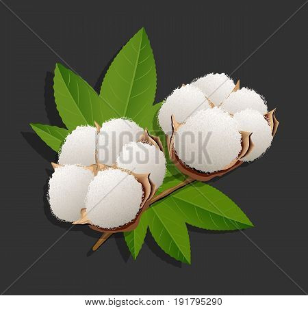 Realistic cotton branch on black background. Vector illustration