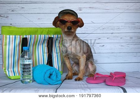 Yorkie dog ready to go to the beach with his cap and his glasses