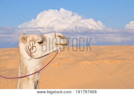 Camel muzzle against the background of the desert