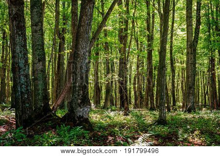 Beautiful forest scene in Pictured Rocks National Lakeshore in Michigan