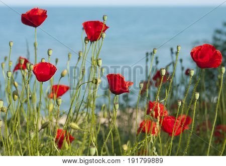 Landscape with red poppy flowers on sea shore with view on blue water, horizontal.