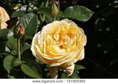 Rosa Glorious Interictira - hybrid tea rose variety at Christchurch Botanical Garden New Zealand.
