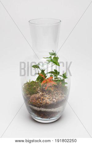 Plant arrangement (terrarium) in a glass vase