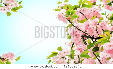Blossoming branches of cherry tree on color background