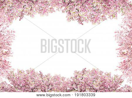 Blossoming branches of cherry tree on white background