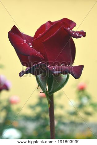 Fresh rose with water drops on petals