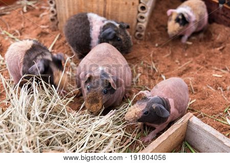 Adorable skinny pig or hairless guinea pig family are eating dry grass.