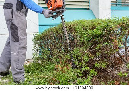 Gardener cuts hedge with an electric hedge trimmer