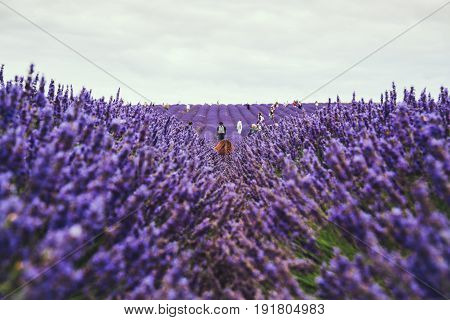 Blossoming lavender field, people hand picking lavender on the background. Selective focus.