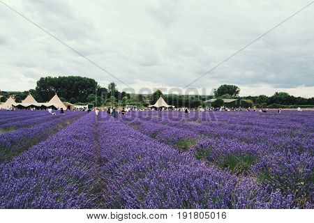 HITCHIN, UK - AUGUST 1, 2016: Landscape view of Hitchin lavender field and and visitor facilities. It is a local attraction and is close to both London and Cambridge.