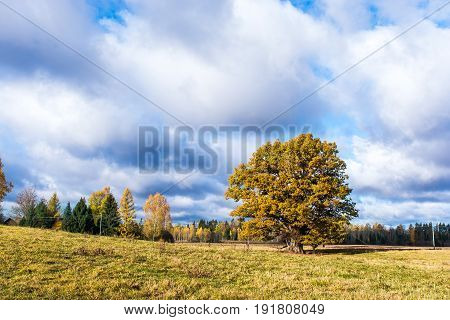 Beautiful, deciduous oak tree on the field in autumn. Beautiful autumn landscape. A large oak grows on the field. There are clouds in the sky. Saturated colors, colorful look.