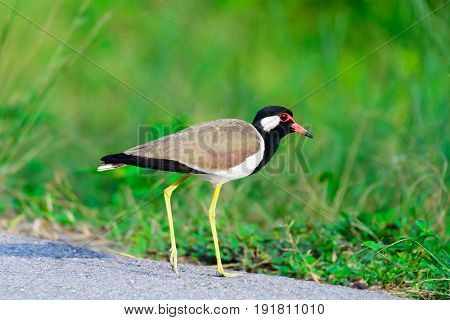 Red-wattled Lapwing Vanellus Indicus.