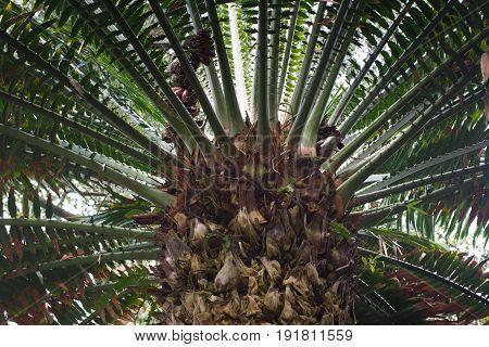 Encephalartos laurentianus shrub. Subtropical cycad evergreen palm like plant with red green cones. Cycas.