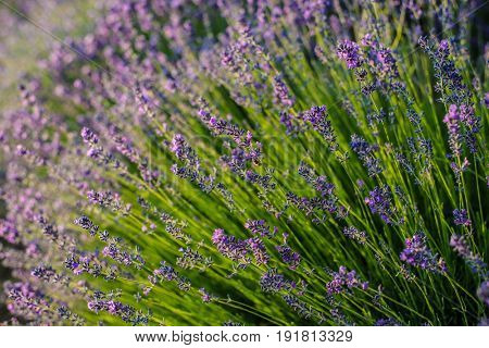 Lavender closeup. Composition of nature.