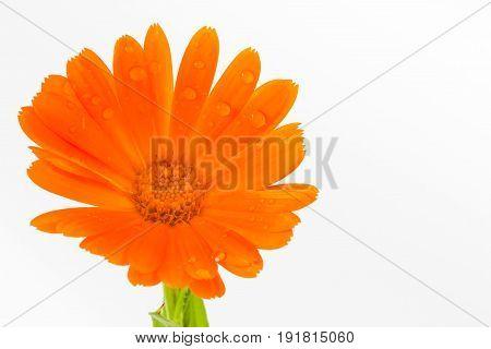 Orange pot marigold flower isolated in white background