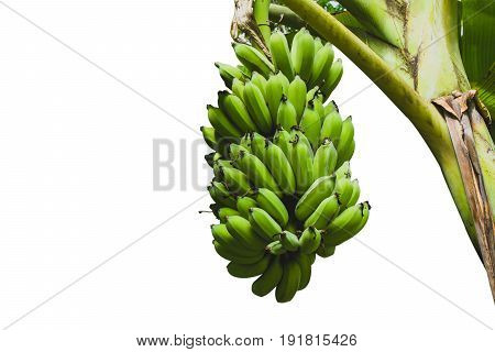 Bananas with banana tree isolated over white background with clipping path.