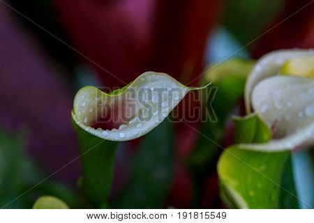 White Calla Lily On Green Leaves Close Up