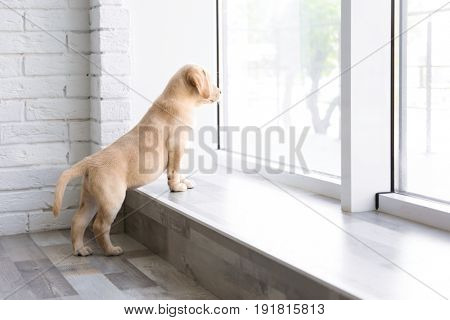 Cute Labrador puppy looking outside