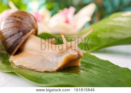 Giant Achatina snail on green leaf, closeup