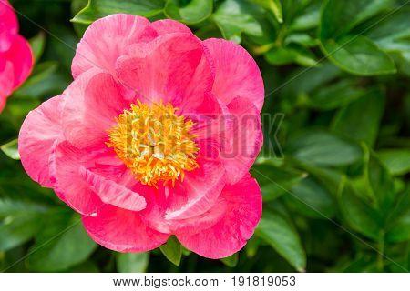 Blooming pink peony flower in garden. Top view.