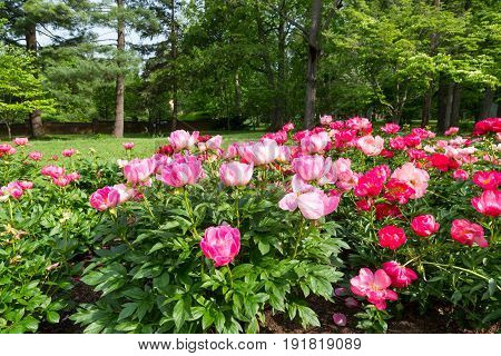 Blooming pink peony flower in park garden.