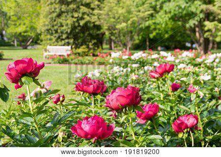 Blooming peony flowers in summer park garden.