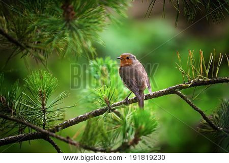 An adult robin perched on the branch of a Christmas tree.